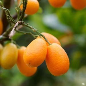 Kumquat citrom termés