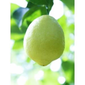 Amalfi citrom termés