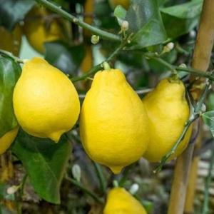 Carrubaro citrom termés