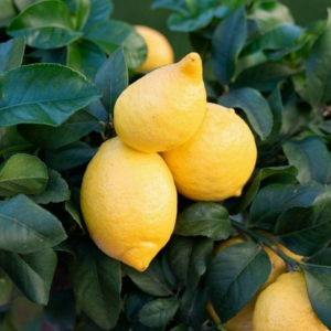 Cappuccio citrom termés