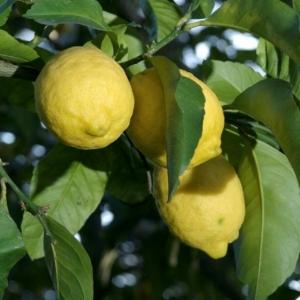 sorrento citrom termés