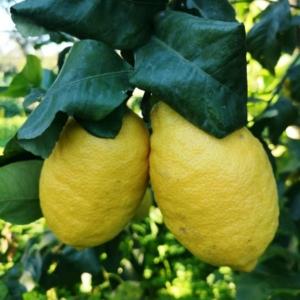 Interdonato citrom termés