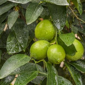 Tahiti, Caribi lime termés