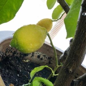 Lunario citrom termés