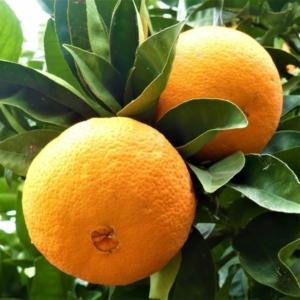 washington narancs termés