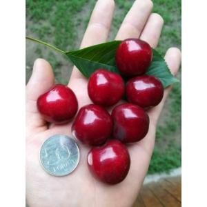 Hedelfingeni óriás cseresznyefa