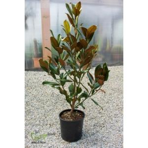 Örökzöld magnólia - Liliomfa - Magnolia grandiflora