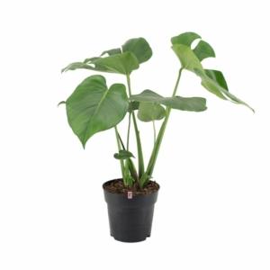 monstera deliciosa - filodendron