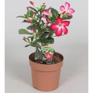 sivatagi rózsa 14 cm-es cserépben 25-30 cm magas