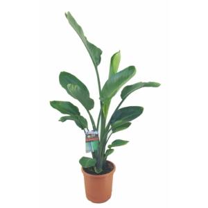 strelitzia-reginae papagályvirág