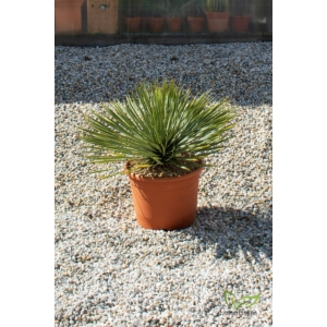 Yucca rostrata cserépben