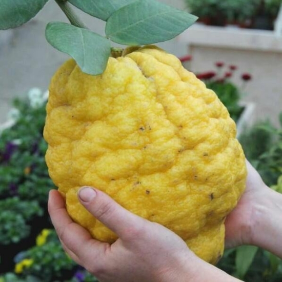 Olasz óriás cédrát citrom termés
