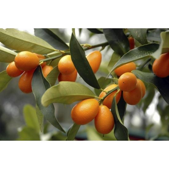 Kumquat gigante citrom termés