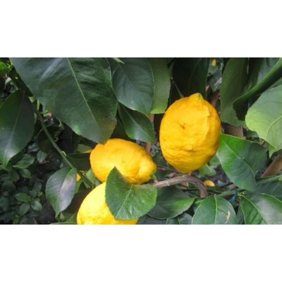 Siracusano citrom termés
