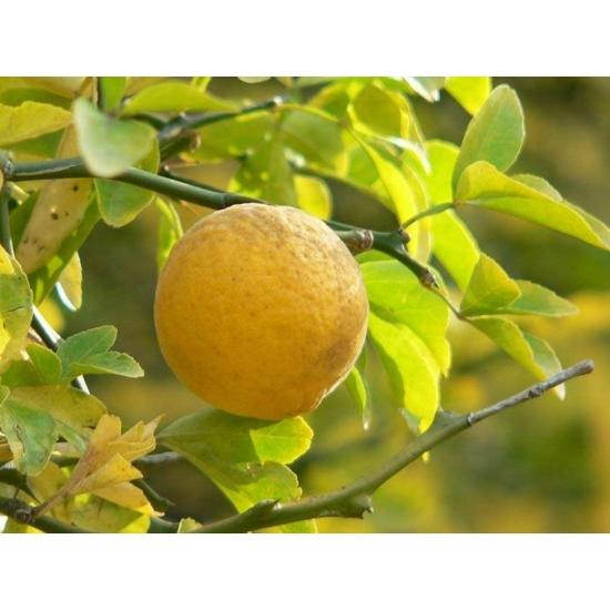Vadcitrom citrom termés