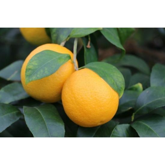 Volkamer vörös, korai citrom termés