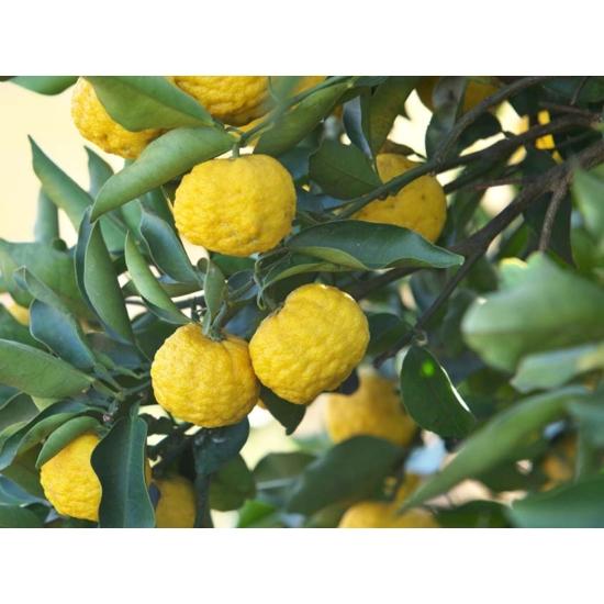 yuzu citrom termés