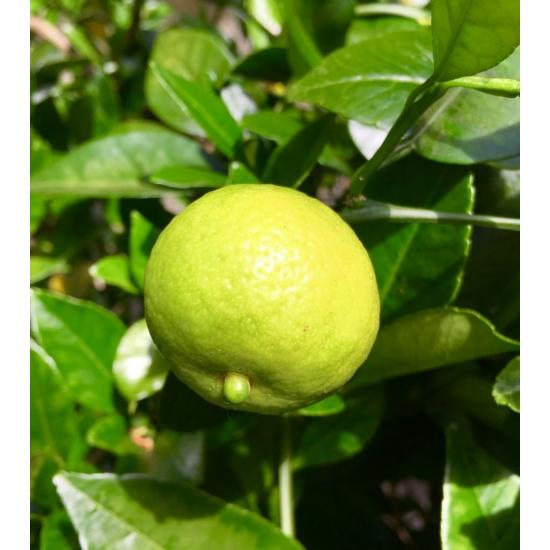 Lime Romana, lime termés