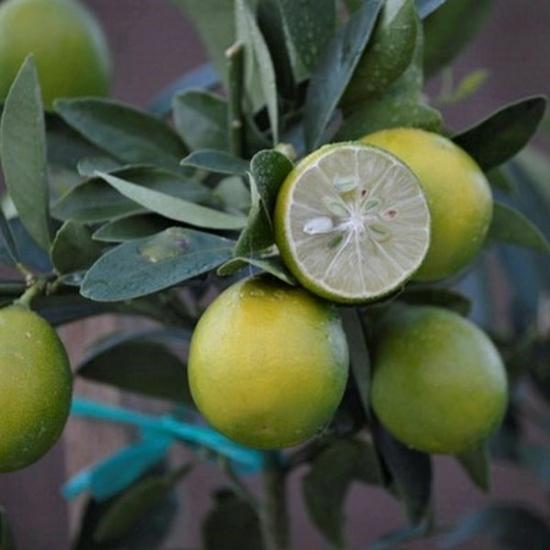 Limequat citrom termés