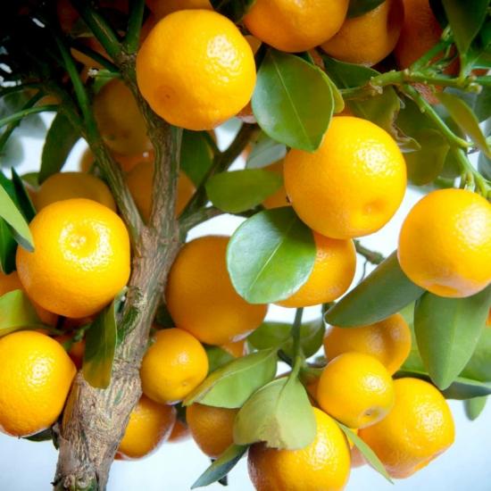 Calamondin mandarin termés