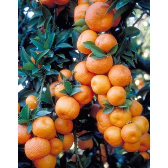 Chinotto mandarin termés