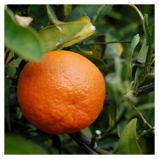Clementino mandarin termés