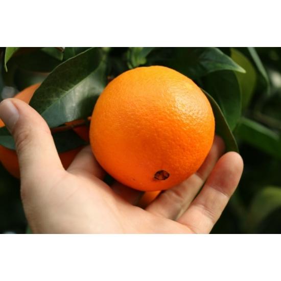 Navelina narancs termés