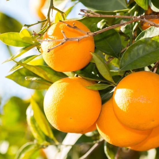 Sinensis narancs termés