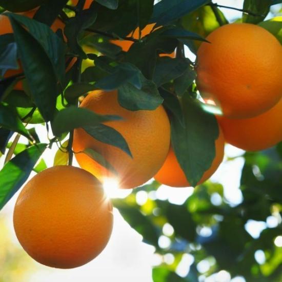 Valencia  narancs termés