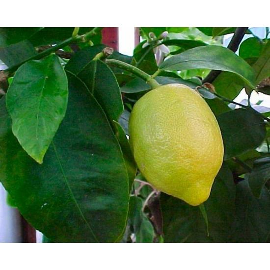 Zagra bianca citrom termés