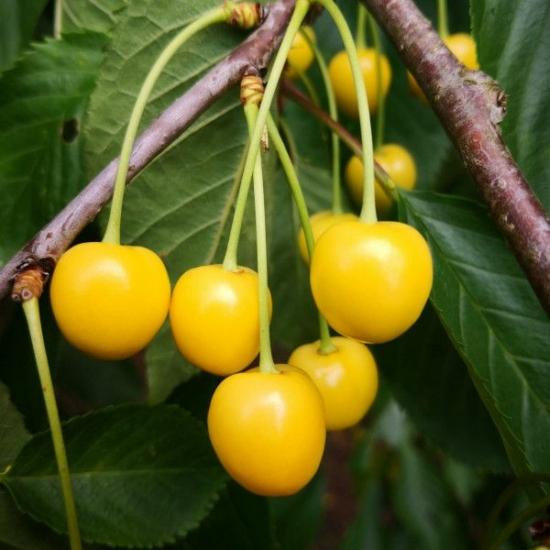 dönissens,gelbe,cseresznye