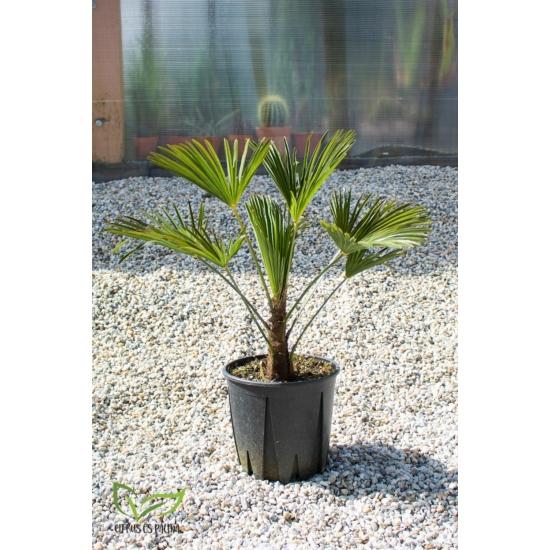 Japán kenderpálma - Trachycarpus wagnerianus cserépben 75-80 cm