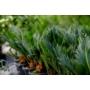 Kép 2/4 - Japán cikász - Cycas revoluta