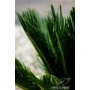 Kép 4/4 - Japán cikász levele - Cycas revoluta