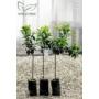 Kép 2/2 - Kaffir lime fa fóliakonténerben