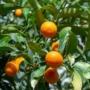 Kép 6/8 - Kumquat termések