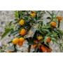 Kép 3/8 - Kumquat termés