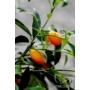 Kép 4/8 - Kumquat termés