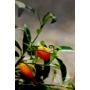 Kép 5/8 - Kumquat termés