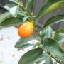 Kép 7/8 - Kumquat termés