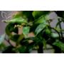 Kép 8/9 - Limiequat termés zöld