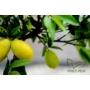Kép 3/9 - Limiequat termés