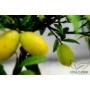 Kép 4/9 - Limiequat termés