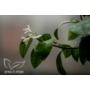 Kép 6/9 - Limiequat virág