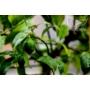 Kép 7/9 - Limiequat termés zöld