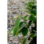 Kép 3/4 - Lunario citrus levél