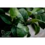 Kép 4/4 - Lunario citrus levél