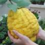 Kép 1/2 - Olasz óriás cédrát citrom termés