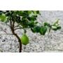 Kép 3/5 - Zagra bianca citrom zöld