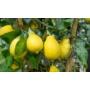 Kép 5/5 - Carrubaro citrom termések